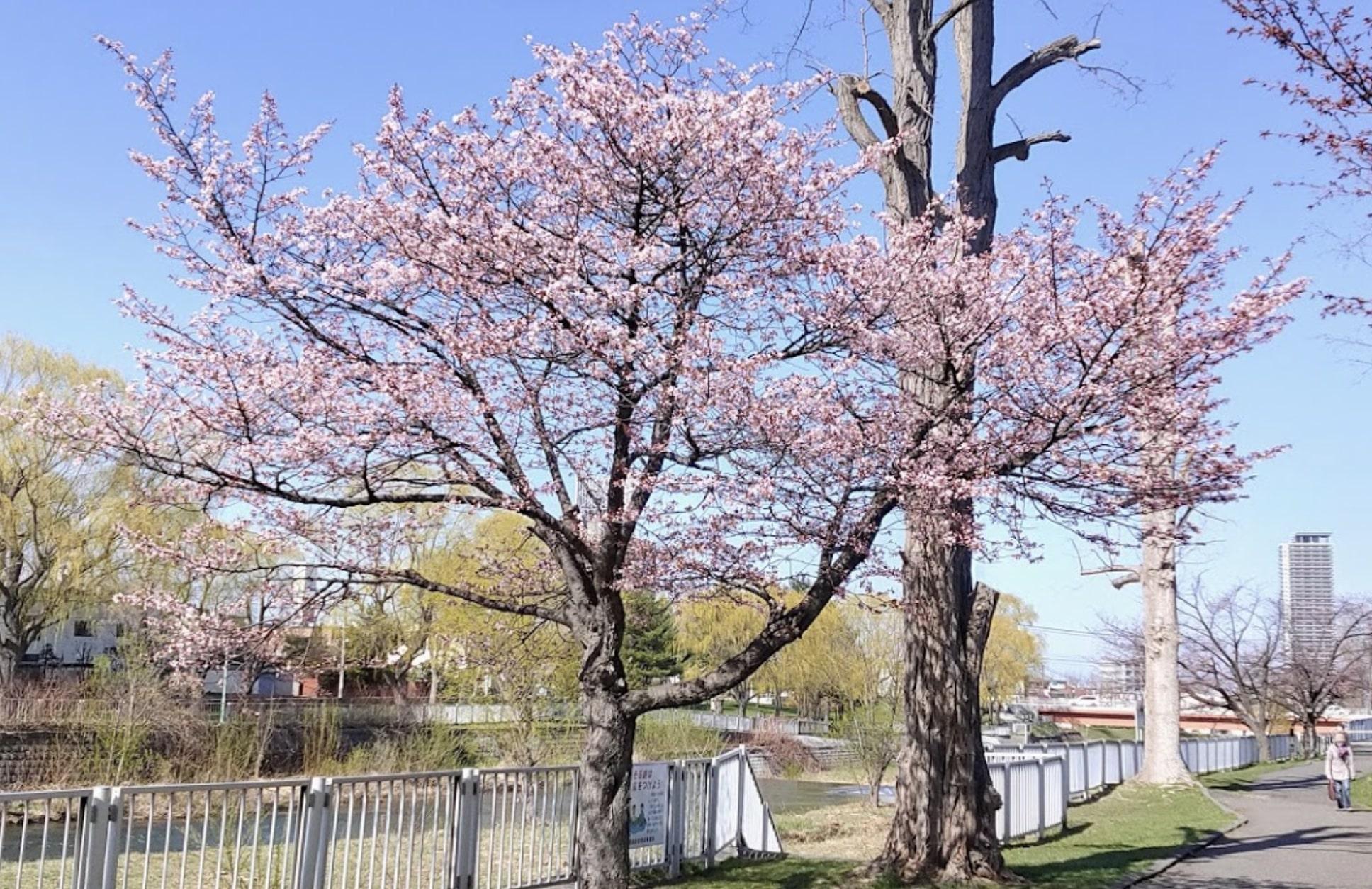 琴似発寒川の桜