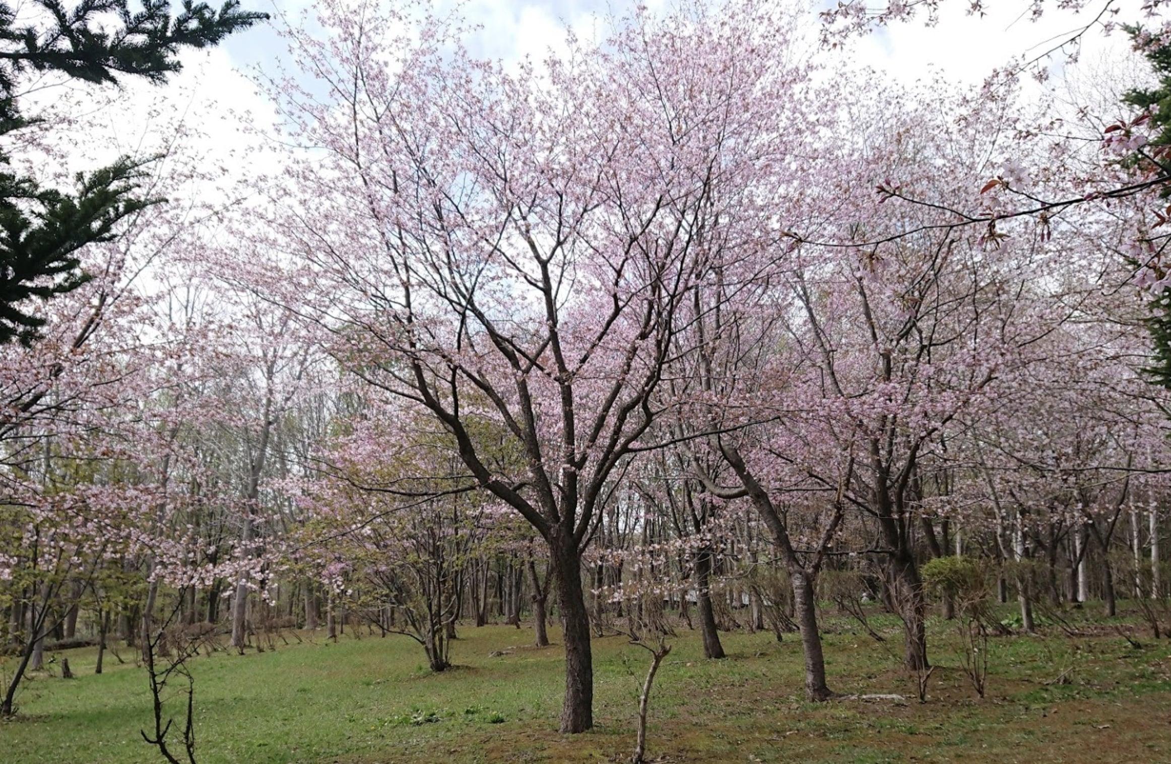 長橋なえぼ公園の桜
